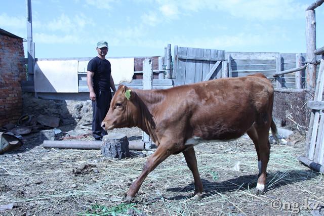 Выращивание быков производителей 50