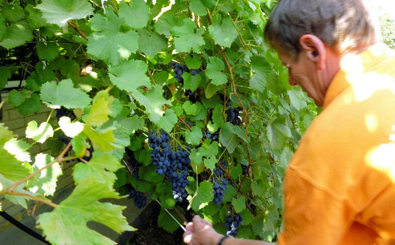 Вот такие щедрые гроздья можно получить, если соблюдать агротехнику