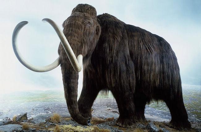 Ученые близки квоскрешению мамонта